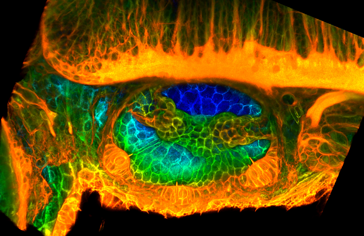 Micrograph of the inner ear of a zebrafish