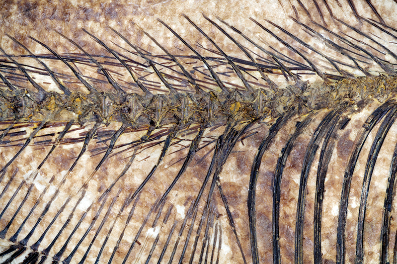 fossilized backbone of a fish