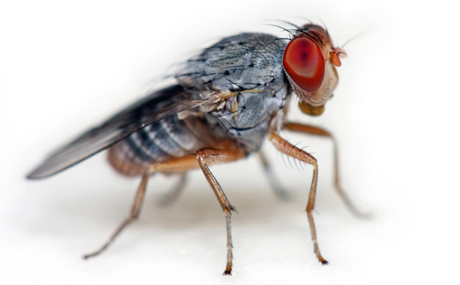 close-up of a fruit fly