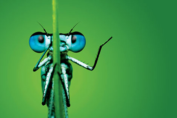 FLIGHT OF FANCY: Dragonflies can see in ultraviolet light.<br/><br/>© Tomasz Pietryszek/Vetta Collection/iStockphoto.com