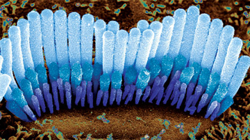 RIDE THE WAVE: Bundles of sensory cilia, such as these from the inner ear hair cells of a guinea pig, sway in response to sound vibrations, stimulating nerve impulses that travel to the brain, where they are interpreted as sound.<br/><br/>Photo by Dr. David Furness/Wellcome Images