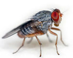 COME OUT SWINGING: Edward Kravitz's research team has found that during half–hour fights, fruit flies average 27 encounters of 11 seconds each. The skirmishing flies move so quickly that the researchers need slow–motion instant replay to score them. <br/>Photo by Arlindo71/istockphoto.com