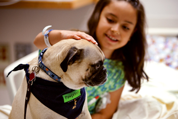 GIMME A PUG: Phil visits a young patient during his rounds as a volunteer for Pawprints, the therapy dog-visitation program at Boston Children's Hospital.</br>Photo credit: John Soares