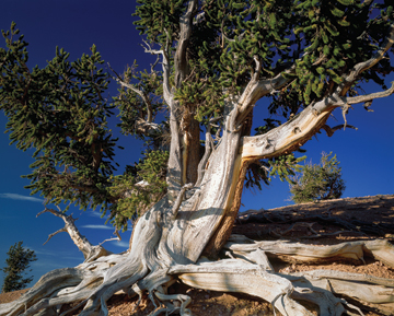 SURVIVOR: Bristlecone pines can thrive for thousands of years in arid, high-altitude landscapes by following what some might consider a botanical version of calorie restriction.<br/>Photo by Scott T. Smith/Corbis