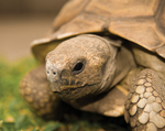 SLOW BURN: Some tortoise species live 150 years or more.<br/>Photo by stock.xchng