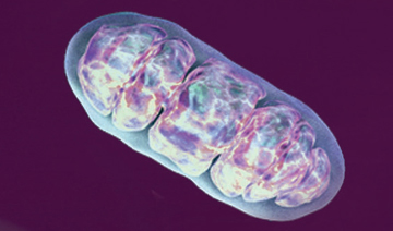 A healthy mitochondrion contains the metabolic regulator SIRT4, which responds to DNA damage and other stress. Image: National Institute on Aging.