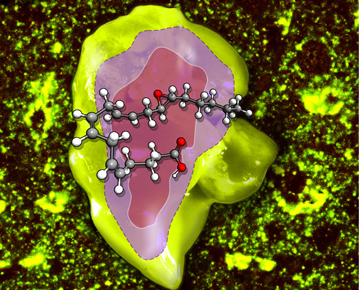 EET-stimulated liver regeneration. Image: Dipak Panigrahy/Beth Israel Deaconess