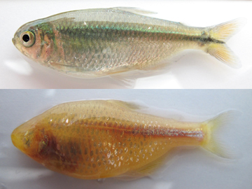 Surface (top) and cave (bottom) populations of the fish Astyanax mexicanus differ in many physical traits, including the cavefish's loss of eyes and pigmentation. Image: Nicolas Rohner