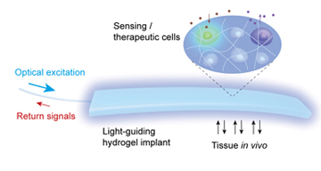 Light passing through an optical fiber (left) can either carry in a signal that stimulates the activity of cells embedded in the hydrogel implant or bring back a signal generated by cells responding to something in their environment. (Source: Harvard Medical School/Harvard Bio-Optics Lab/Wellman Center for Photomedicine)