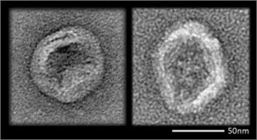 An enveloped virus (left) coats itself with lipid as part of its life cycle. New lipid-coated DNA nanodevices (right) closely resemble those viruses and evade the immune defenses of mice. Credit: Steven Perrault