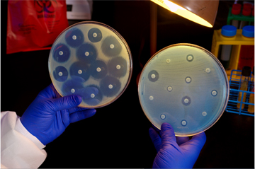 Bacteria in the plate on the left are susceptible to antibiotics but  show resistance in the plate on the right. Image: James Gathany/CDC