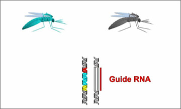 "An emerging technology called ""gene drives"" could potentially be used to spread particular genomic alterations through targeted wild populations over many generations. Click on the image above to view an animation that describes the technology. Credit: Wyss Institute"