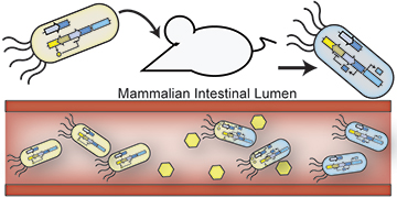 "In this schematic, engineered probiotic E. coli bacteria have colonized the mammalian intestine and ""remember"" exposure to an environmental signal, indicated by the cells turning blue. Image: Jonathan Kotula"
