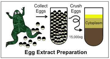 African clawed frog (Xenopus laevis) egg-extract preparation involves collecting unfertilized eggs, crushing them, and separating out fractions of the cytoplasm through centrifugation, a process that divides membranes, organelles and cytoplasm by density. Image: Mitchison Lab
