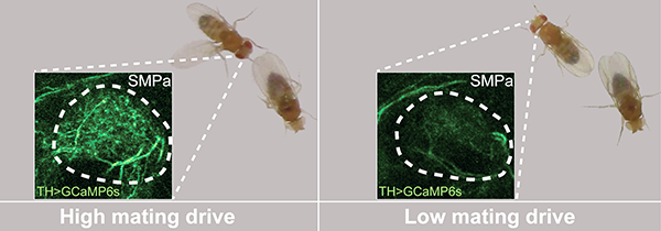 High dopamine levels corresponded with high mating drive in male flies (left), and low dopamine levels corresponded with low drive (right). Image: Stephen Zhang