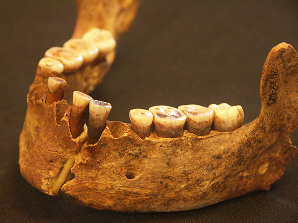 "This lower jaw belonged to an approximately 19,000-year-old woman called the ""Red Lady of El Miron Cave"" in northern Spain. She was the first individual in the study to show a resurgence in ancestry from a population that appeared to have died out for 15,000 years. Image copyright Lawrence G. Straus"