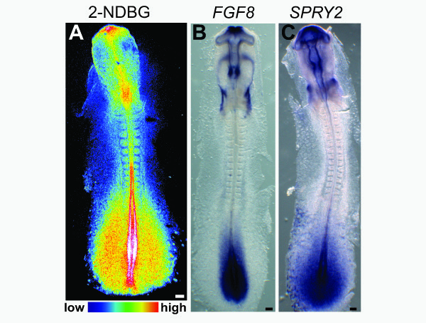 New research reveals that Warburg-like metabolism varies throughout a developing embryo, highest in the parts of the tail bud (bottom of image) where the organism is growing longer, shown in red and white. Image: Pourquié lab