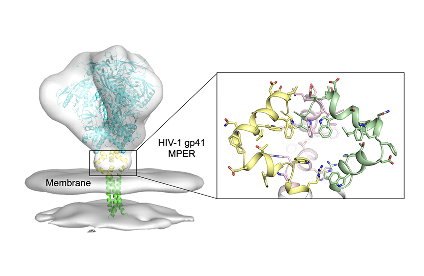 Diagram showing three main regions of HIV envelope protein