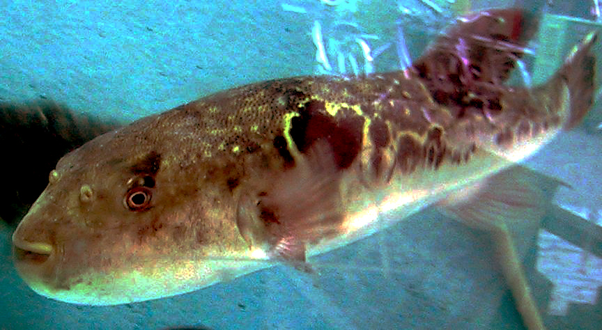Shiny brown fish with small smiley mouth swims in tank