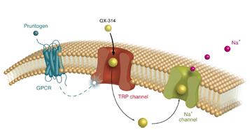 An itch-inducing substance, called a pruritogen, opens large-pore ion channels to allow entry of the sodium channel blocker QX-314. Once inside the nerve fiber, QX-314 has access to its binding site on the sodium channel and blocks conduction only in fibers activated by the pruritogen. Image: David Roberson