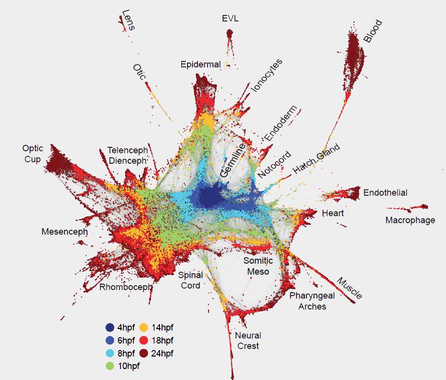Una nueva visión del desarrollo embrionario que muestra más de 50,000 células organizadas por relaciones a lo largo del tiempo.  El centro azul es el comienzo de la vida.  Irradiando hacia afuera, surgen tipos celulares especializados.  Imagen: Wagner et al.