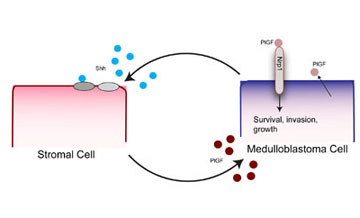 Medulloblastoma cells secrete the developmental protein Shh, which triggers nearby stromal, or connective, cells to produce placental growth factor (PlGF). Stromal-derived PlGF then binds to neuropilin 1 (Nrp1) receptors in the cancer cell and conveys signals that sustain the growth and spread of the tumor. Illustration courtesy of Lance Munn and Nathaniel Kirkpatrick of the Steele Laboratory for Tumor Biology, Massachusetts General Hospital.