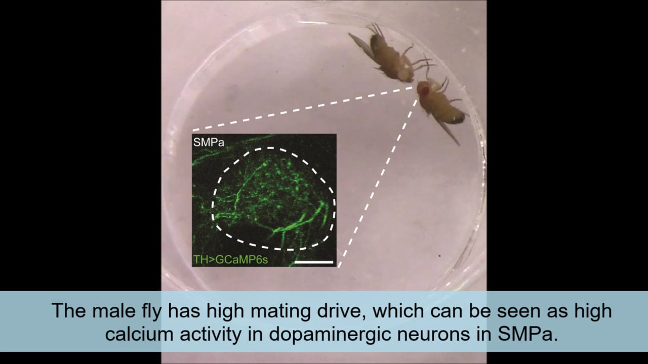 Male fruit flies with high levels of dopamine in P1 neurons readily court female flies, but males whose dopamine has dropped after a few matings lose interest. Video: Stephen Zhang