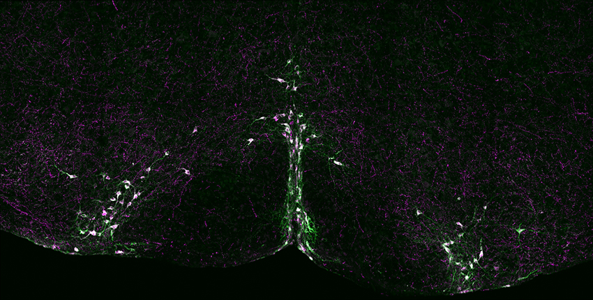 Arc of neurons in purple and green