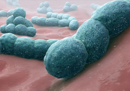 How does penicillin detonate bacteria? Insights set stage for development of new antibiotics.