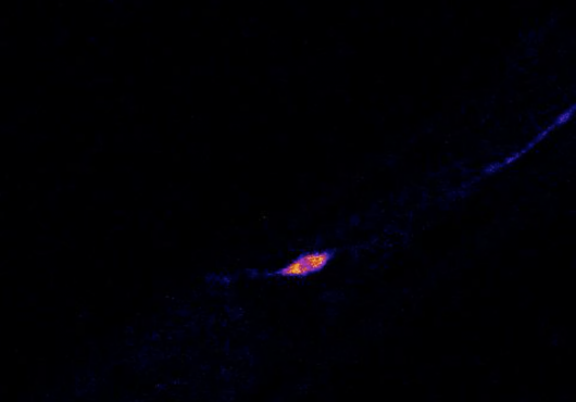 Microscopic worm neuron glows pink and blue against black background
