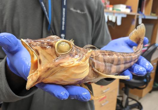 Blue gloved hands hold a preserved beige fish about one foot long with open mouth and blank eyes