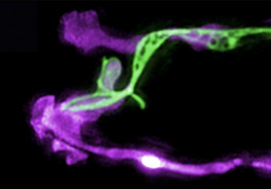 Two microscopy images show long glia in purple with long green neuron (top) and long blue neuron (bottom) overlapping