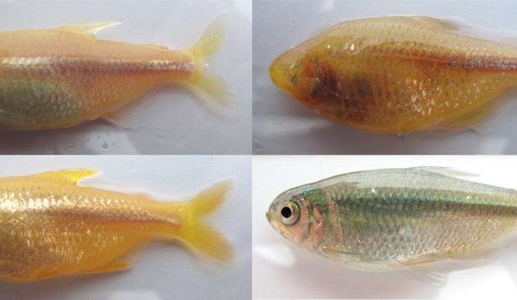 Four images of fish shown side by side. Three are orange and eyeless while one, bottom right, is silver with eyes
