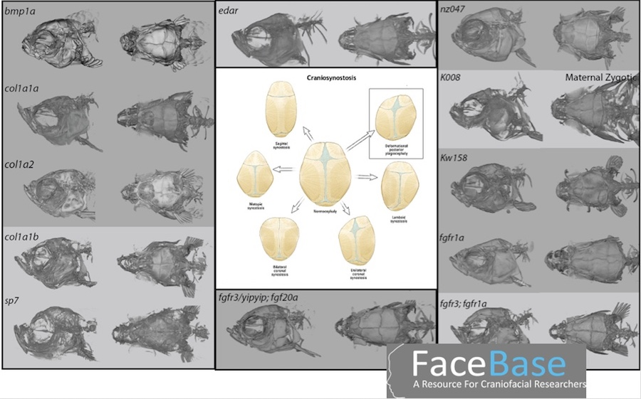 Chart with illustrations of different fish and human skull morphologies