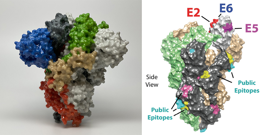 Left: plastic 3D printout of spike protein with different sections marked in different colors. Right: illustration of spike protein with small segments labeled as public epitopes.
